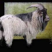 Handsome Pygmy Goat Poster