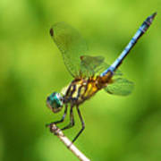 Handstand Dragonfly Poster by Karen Scovill
