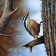Hangin Out - Nuthatch Poster