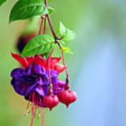 Hanging Gardens Fuschia Poster by Laura Mountainspring