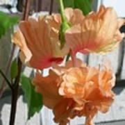 Hanging Hibiscus Poster