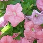 Hanging Pink Petunias Basket Poster