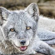 Happy Arctic Fox Poster