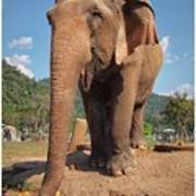 Happy Thai Elephant In Chiang Mai Poster