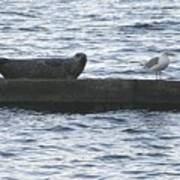 Harbor Seal Hangin With A Friend Poster