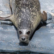 Harbor Seal Ready To Plunge Into The Water Poster
