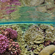 Hard Coral Carpets A Shallow Seafloor Poster by Brian J. Skerry