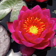 Hardy  Day Water Lily Poster