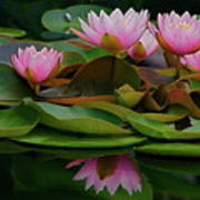 Hardy Pink Water Lilies Poster