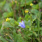 Harebell - Campanula Rotundifolia - Flower Poster