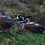 Harlequin Ducks  Poster