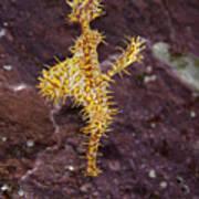 Harlequin Ghost Pipefish - Solenostomus Paradoxus Poster