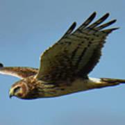 Harrier in Flight Poster