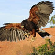 Harris Hawk On The Wing Poster