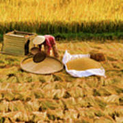 Harvesting Rice Fields Vietnamese Woman  Poster
