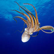 Hawaii, Day Octopus Poster