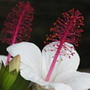 Hawaii Flower Poster