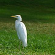 Hawaiian Cattle Egret Poster