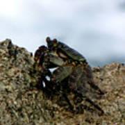 Hawaiian Crab Legs Poster