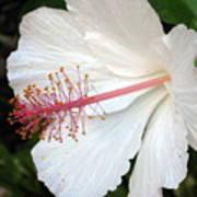 Hawaiian Hibiscus 2 Photograph Poster