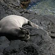 Hawaiian Monk Seal Ilio Holo I Ka Uana Poster