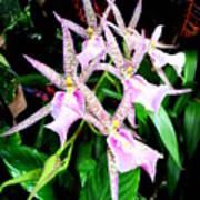 Hawaiian Orchid 31 Poster