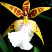 Hawaiian Orchid 32 Poster
