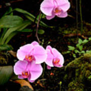 Hawaiian Orchids Poster