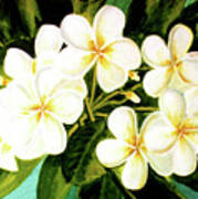 Hawaiian Plumeria #56 Poster