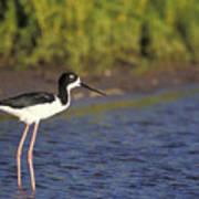 Hawaiian Stilt Bird In Water Poster