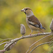 Hawfinch Coccothraustes Coccothraustes Poster