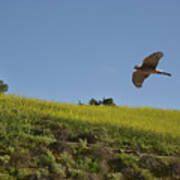 Hawk Flying Over Field Of Yellow Mustard Poster