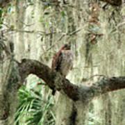 Hawk In Live Oak Hammock Poster
