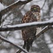 Hawk In Snow Storm Poster