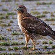 Hawk On A Walk Poster