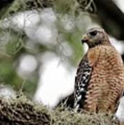 Hawk On Watch Poster
