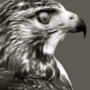 Hawk Profile Poster