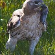 Hawk With Dinner Poster