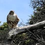 Hawk's Perch Poster