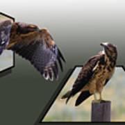 Hawks Poster by Shane Bechler