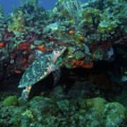 Hawksbill Sea Turtle 4 Poster