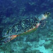 Hawksbill Sea Turtle 5 Poster
