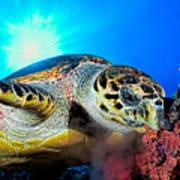 Hawksbill Turtle Poster