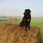 Hay There Black Dog Poster