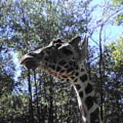 Head Giraffe Poster