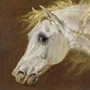 Head Of A Grey Arabian Horse  Poster