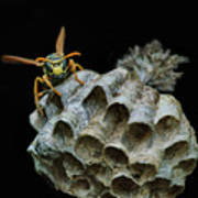 Head-on - Paper Wasp - Nest Poster