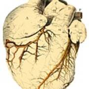 Heart Anatomy, 18th Century Poster by