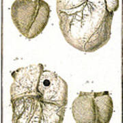 Heart And Muscle Fibers, 18th Century Poster