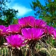 Hedgehog Cactus Poster